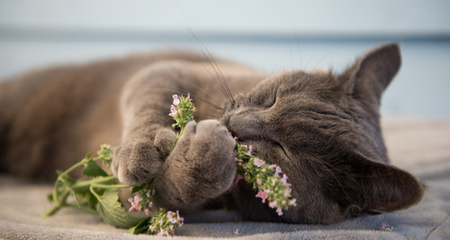 Expand your herbal education by digging deeper into Catnip.