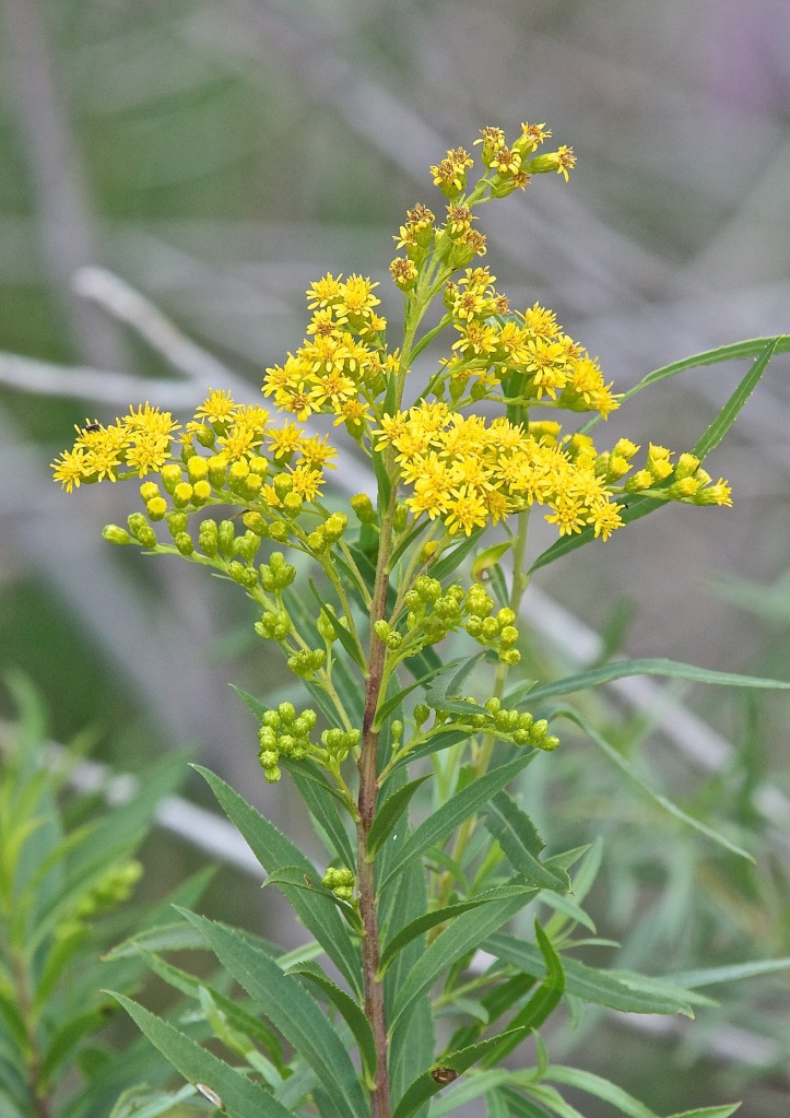 Expand your herbal education by digging deeper into Goldenrod.