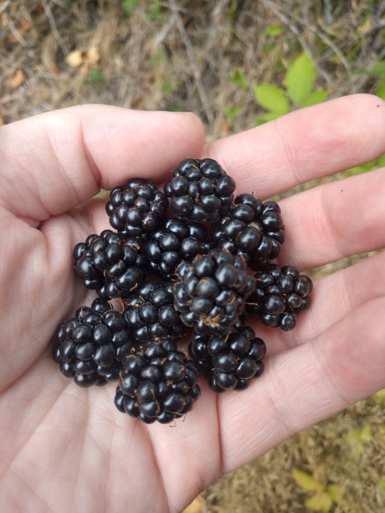 Expand your herbal education by digging deeper into Blackberry.