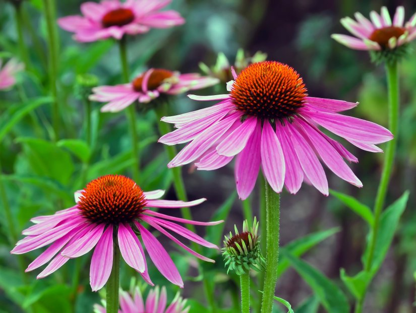 Expand your herbal education by digging deeper into Echinacea.